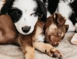 Thinking of Buying a Puppy? Check the Licence First